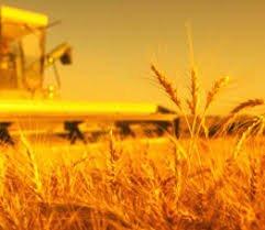 Купить Озимая пшеница Златоколосая