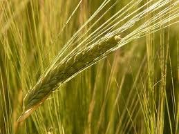 Cereal grain seeds