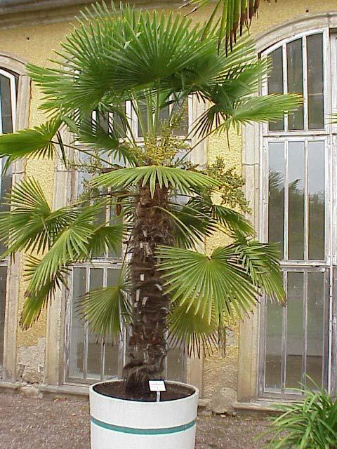 Пальма (трахикарпус)