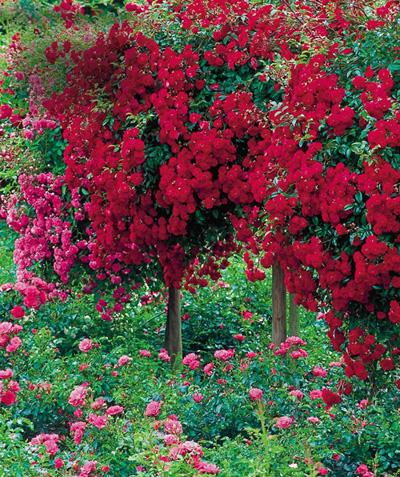 Розы штамбовые