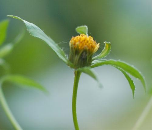 Купити Лікарська рослина черги, черги