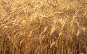 Семена озимой пшеницы Златоглава, Лист 25, Паляница