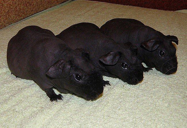Купить В продаже очаровашки морские свинки Скини