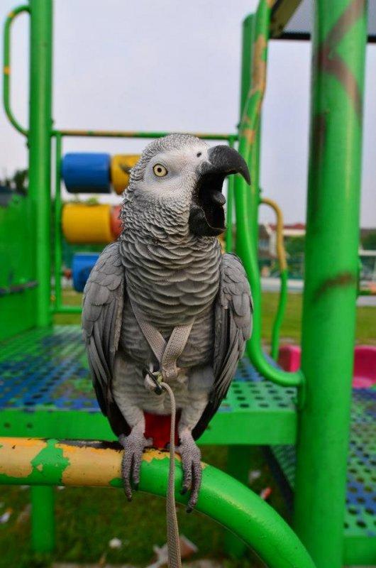 Купить Прогулочные шлейки для попугаев, шлейка для выгула попугая Aviator+