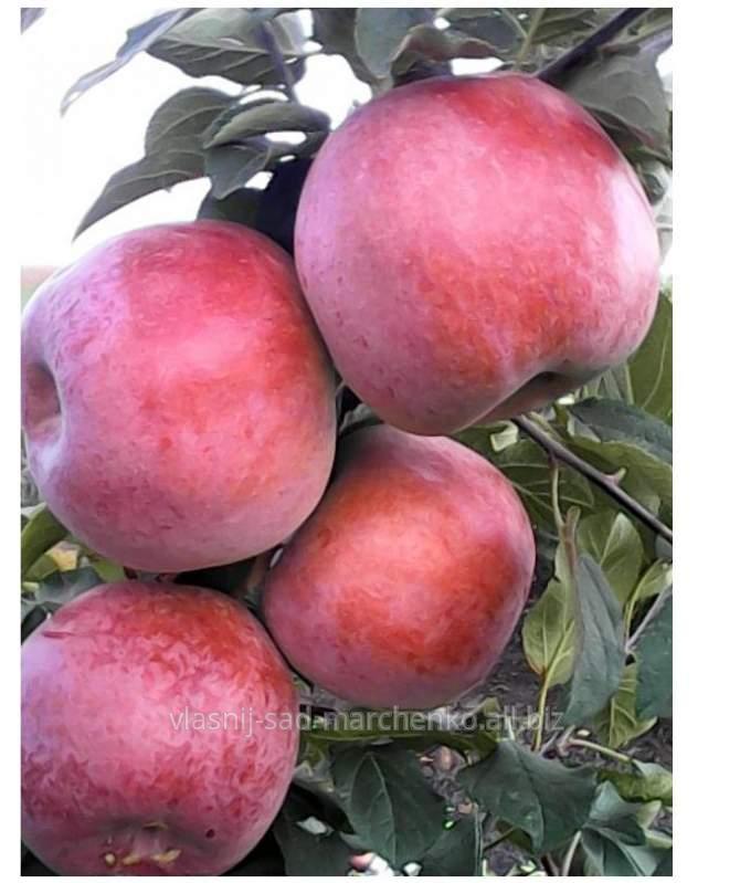 Яблоня сорт Деличия