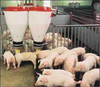 Нагревательный кабель ЭКСОН в животноводческих комплексах