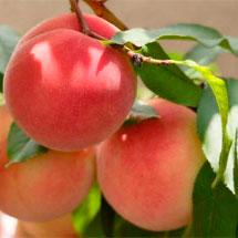 Купить Саженцы персика поз него сорта Белый Лебедева