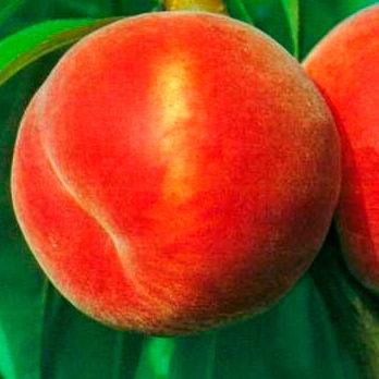 Купить Сорт персика столового назначения Гринсборо