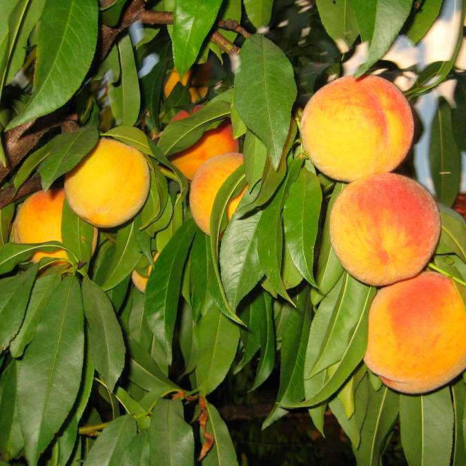 Купить Саженцы персика Донецкий желтый