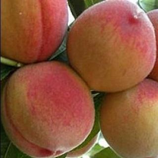 Купить Сорт персика высококачественный Золотая Москва