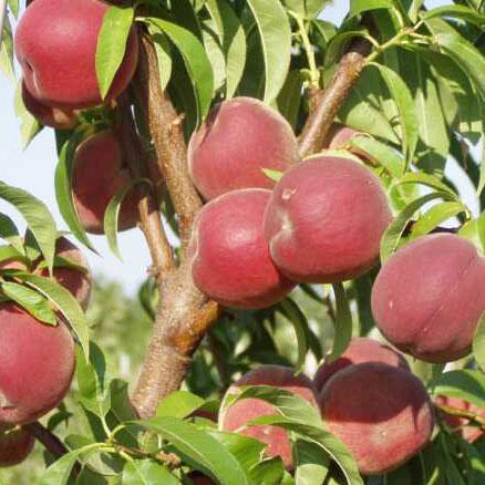 Купить Сорт персика Инка