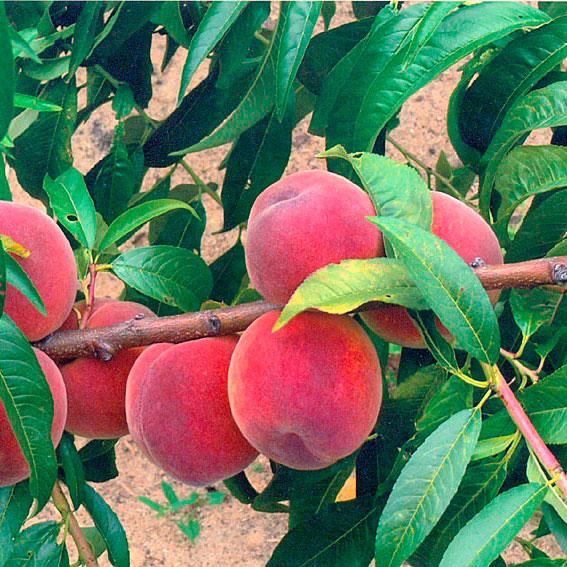 Купить Саженцы персика Посол мира