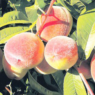 Купить Саженцы персика ранний сорт Сагдиец