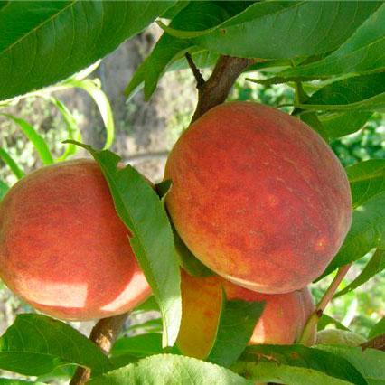 Купить Саженцы персика Санрайз