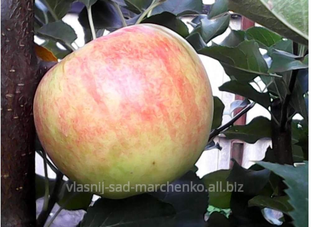 Apple-tree Champion's grade.