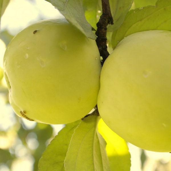 Купить Саженцы яблони сорт Антоновка