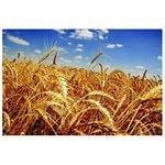 Купить Пшеница озимая, суперэлита