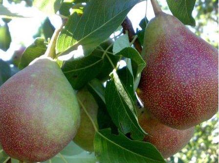 Купить Саженцы плодовых деревьев. Саженцы персика.