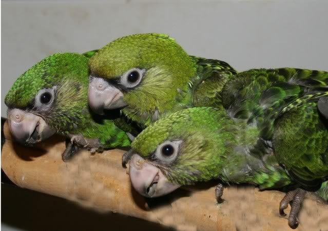 скачать бесплатно говорящего попугая - фото 5