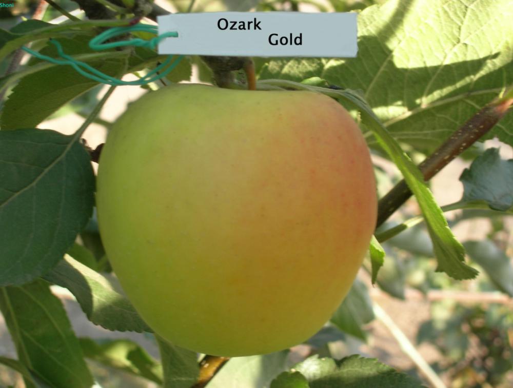 Купить Саженцы яблони Озарк Голд