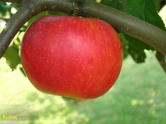 Купить Саженцы яблони Рубин