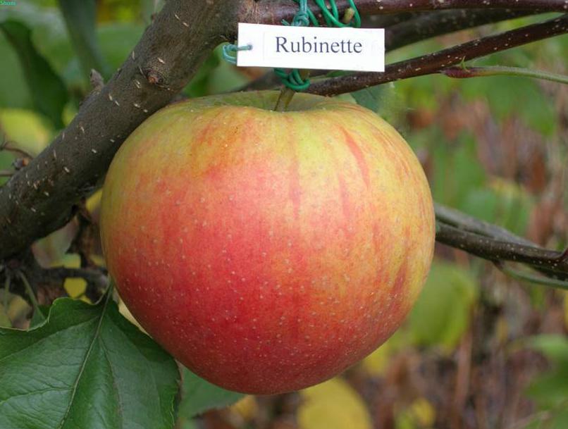 Купить Саженцы яблонь Рубинетте зимний сорт