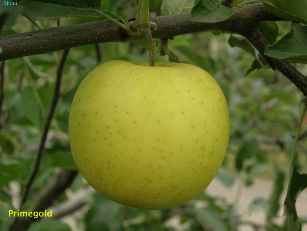 Купить Саженцы яблони Прайм Голд