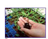 Купити Розсада.Вирощування під замовлення розсади овочів.У різних касетних ємностях по 96,160,260.
