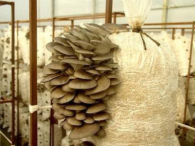 Купить Субстратные блоки гриба вешенка