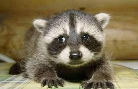 Buy Raccoon coon