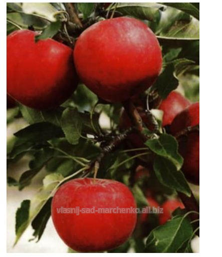 Яблуня сорт Радогость