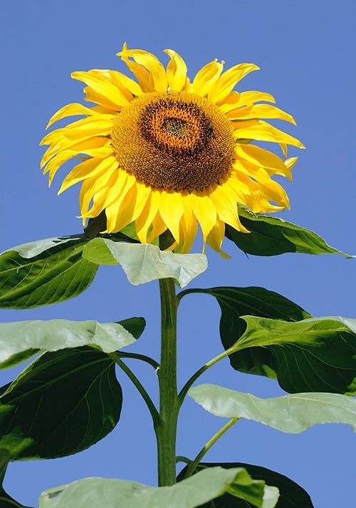 Семена подсолнечника, устойчивого к Евро-Лайтнингу