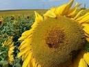 Семена подсолнечника Нео гранстарустойчивый