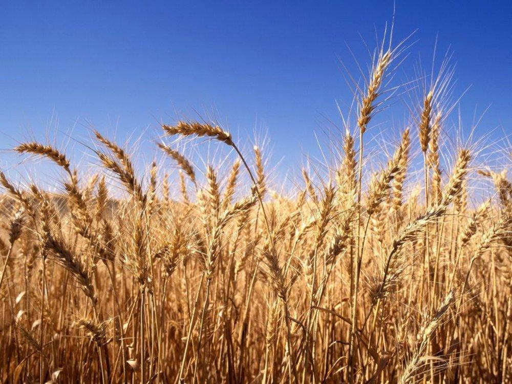 Пшеница продовольственная 3 кл.