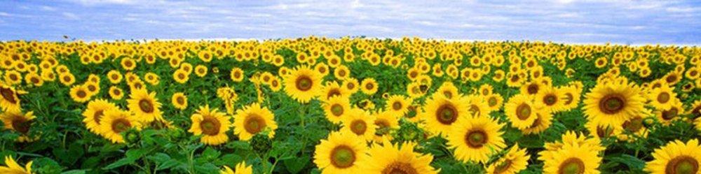 Скороспелые семена подсолнечника - ультра ранние