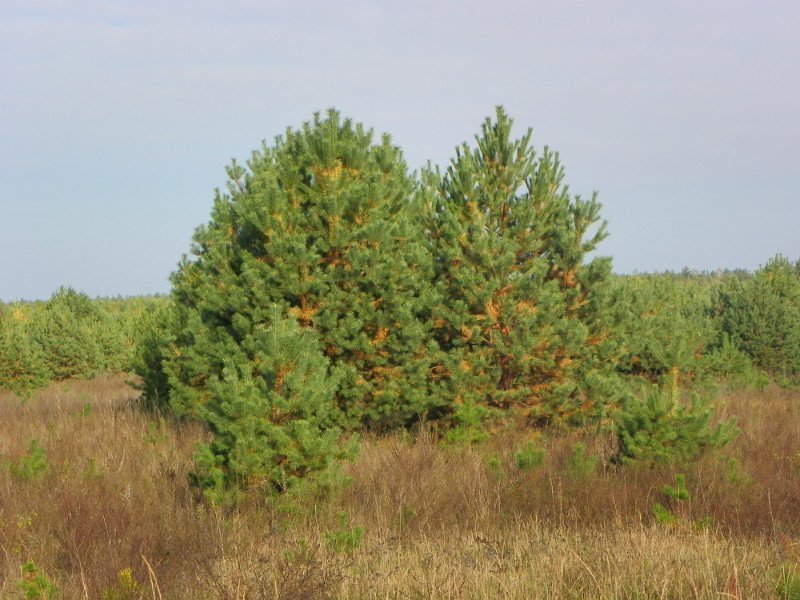 Buy Pine and natural New Year tree
