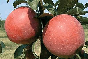 Купить Саженцы яблони Ремо, Ревена, Реглиндис, Релинда, Реанда.