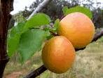 Buy Saplings of apricot, peach.