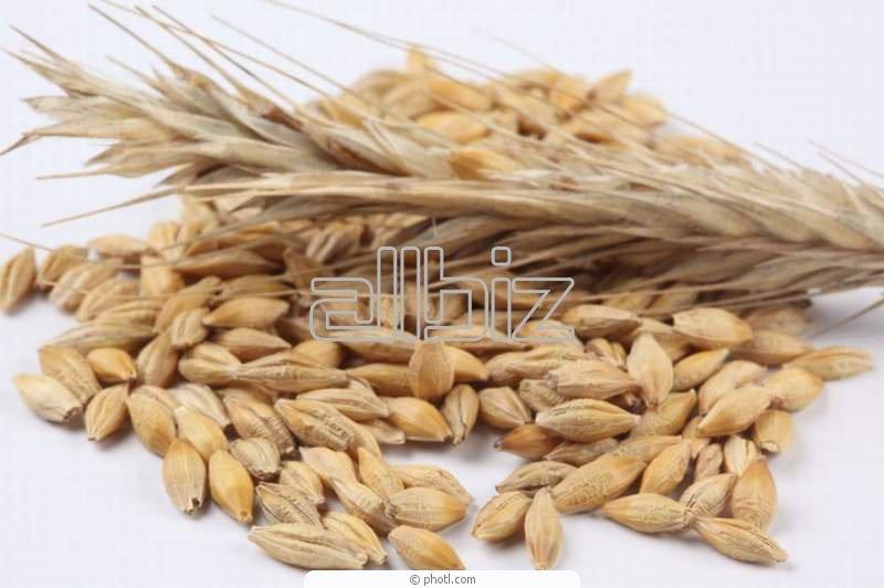 Пшеница продовольственная II класса (белок 12%), без ГМО на экспорт