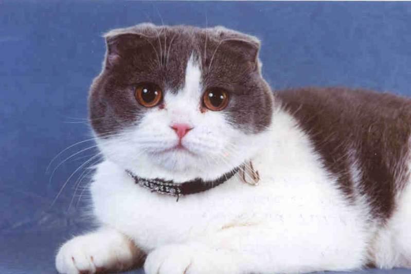 Кошки домашние британская короткошерстная (british shorthair) и IB410