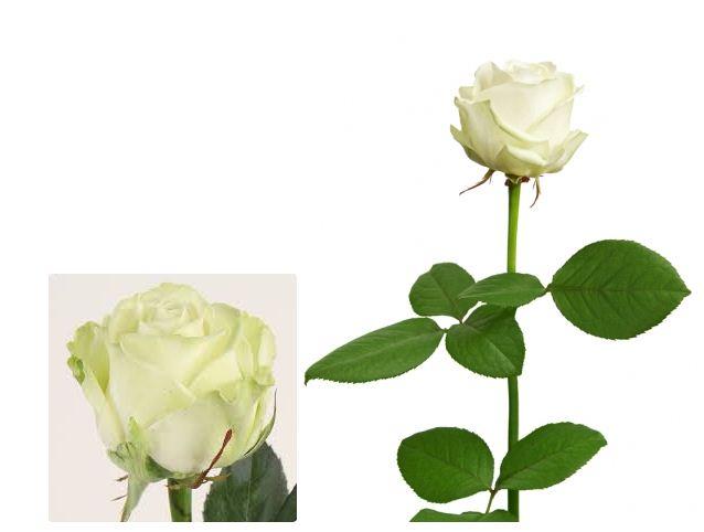 Купить Роза белая Avalanche