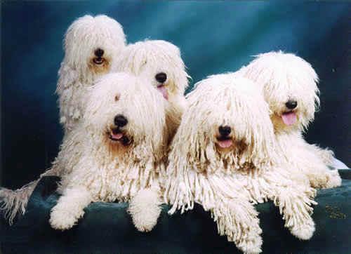 Puppies Of A Komondor Nursery Komondors Of Kiev Buy In Kiev