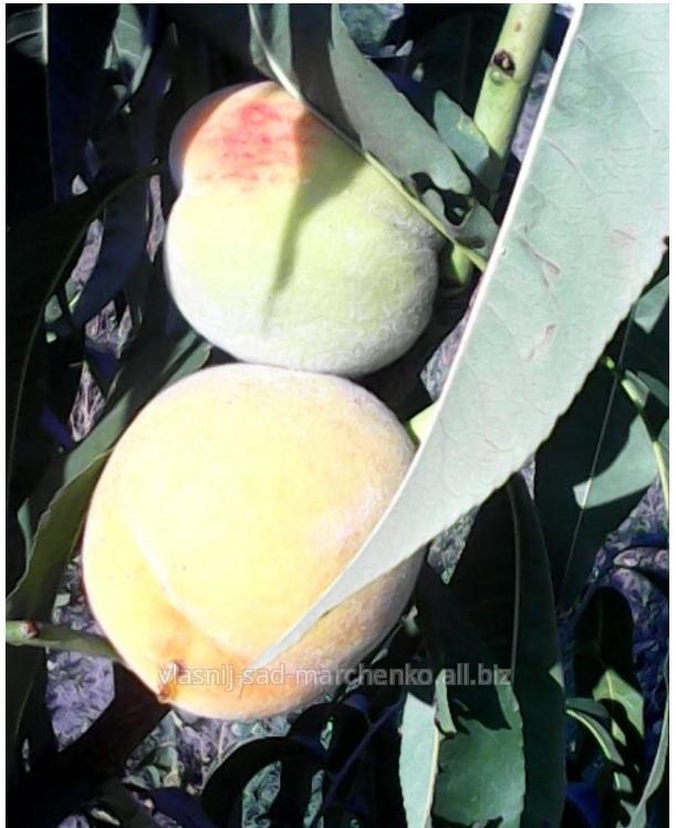 Персик сорт Княже золото.