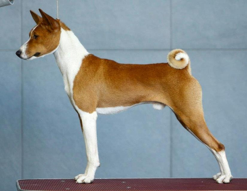 The puppy of the Basenji is on sale