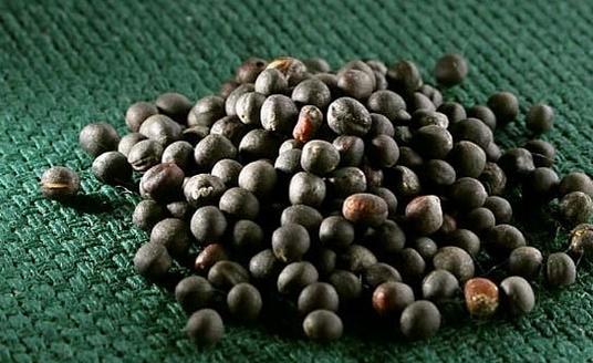 как выглядят семена рапса фото