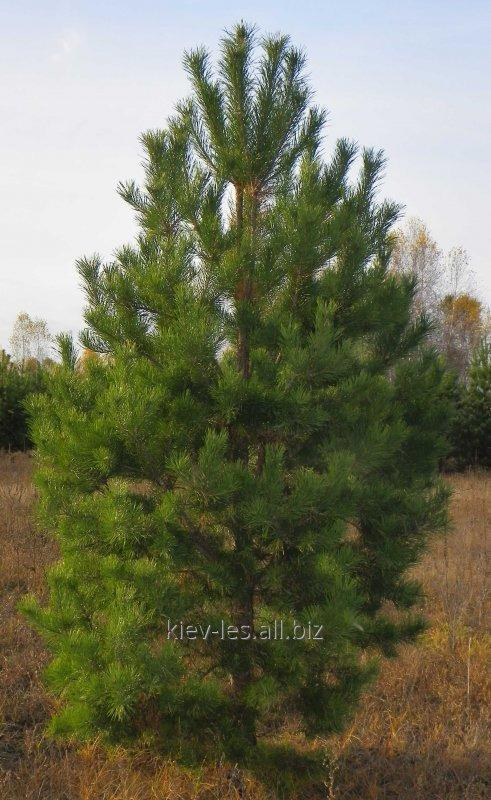 Buy Pine saplings