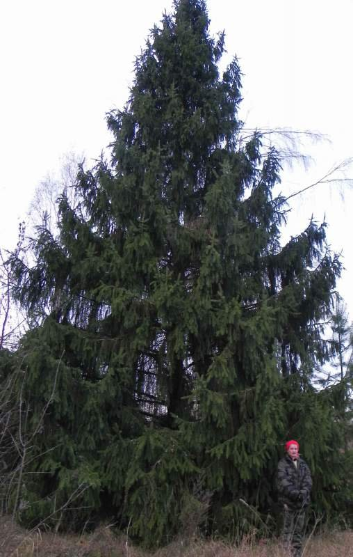 Buy Large-sized saplings of forest trees 2 - 4 meters high