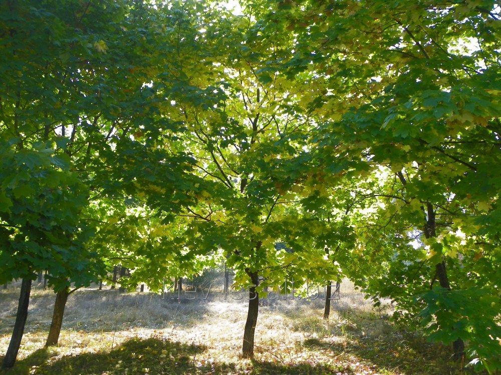 Buy Maple saplings