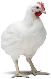 Цыплята Бройлера Кобб 500  Живым весом