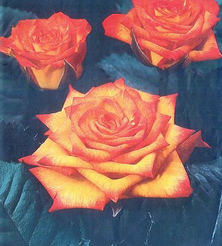 Саженцы роз Циркус